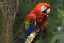 Free Red Macaw Royalty Free Stock Photography - 3076297