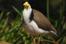 Free Staring Masked Lapwing Stock Photography - 3077282