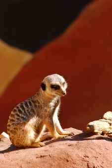 Free Meerkat Sitting On A Rock Stock Photo - 3077390