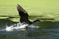 Free Landing Canada Goose Stock Image - 3078941