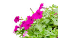 Free Petunia Stock Photography - 30701692