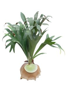 Free Staghorn Fern Stock Photography - 30700502