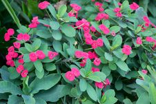 Crown Of Thorns Flowers Stock Image