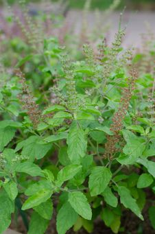 Free Holy Basil  &x28;Ocimum Sanctum&x29; Stock Images - 30701444