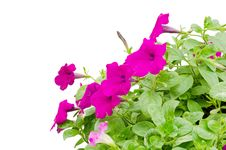 Free Petunia Stock Photography - 30701692
