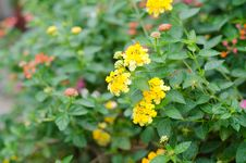 Free Lantana Flowers Royalty Free Stock Images - 30701769