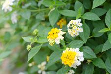Free Lantana Flowers Royalty Free Stock Photography - 30701777