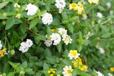 Free Lantana Flowers Stock Photography - 30701792