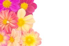 Free Dahlia Royalty Free Stock Images - 30701839