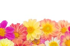 Free Dahlia Royalty Free Stock Photography - 30701847