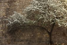 Free Flowering Tree In Lviv Royalty Free Stock Photography - 30704387