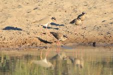 Free Crowned Plover Clan - Wild Birds From Africa - Shadow And Light Royalty Free Stock Photo - 30714495