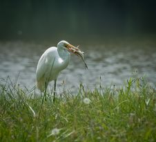 Free Egret With Fresh Catch Stock Photo - 30714840