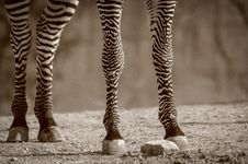 Free Zebra Legs Stock Photography - 30714912