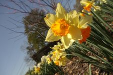 Daffodils In Greenfield Park Royalty Free Stock Image