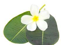 Free White Frangipani Flowers Stock Image - 30716291