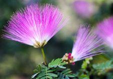 Pink Powderpuff Flower Stock Photos