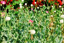 Free Opium Field Flower Stock Image - 30718851