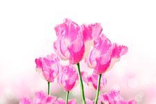 Free Pink Opium Flower Stock Image - 30718861