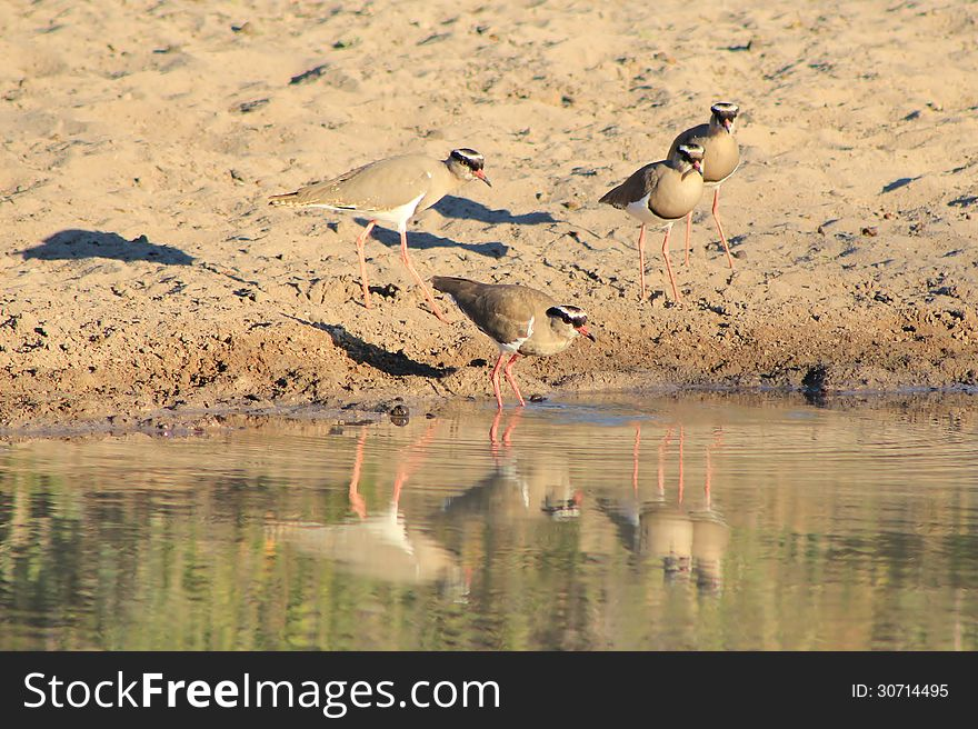 Crowned Plover Clan - Wild Birds from Africa - Shadow and Light