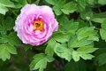 Free Peony Flower Royalty Free Stock Images - 30724389