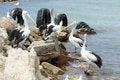 Free Australian Pelican, Kangaroo Island Royalty Free Stock Photo - 30725735