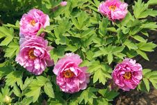 Free Peony Flowers Stock Photography - 30724092