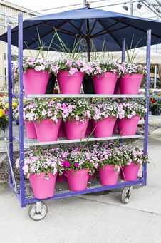 Free Potted Impatiens Royalty Free Stock Photography - 30724187