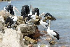 Australian Pelican, Kangaroo Island Royalty Free Stock Photo