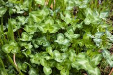 Free Rain-washed Clover Royalty Free Stock Image - 30727016