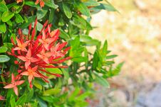 Free Red Ixora Stock Photo - 30727180