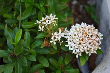 Free White Ixora Coccinea Flower Royalty Free Stock Images - 30727499