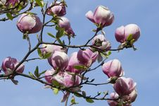 Free Blossoming Magnolia Tree Stock Image - 30728251