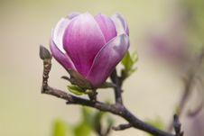 Free Blossoming Magnolia Tree Stock Photo - 30728900