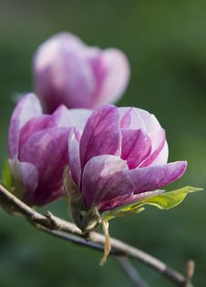 Blossoming Magnolia Tree Royalty Free Stock Images