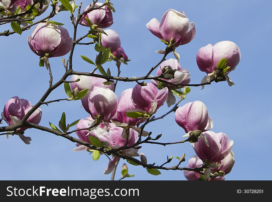 Blossoming Magnolia Tree Free Stock Images Photos 30728251