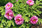 Free Peony Flowers Stock Photography - 30724092