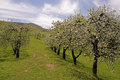 Free Spring Is A Time For Apple Trees To Bloom. Stock Image - 30732241