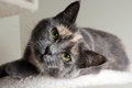 Free Diluted Tortie Cat Stock Photography - 30736672