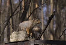 Free Squirrel. Royalty Free Stock Images - 30731929