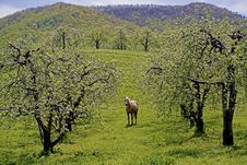 Free A Horse Grazes Beneath Blooming Apple Trees. Stock Photos - 30732093