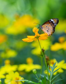 Tiger Butterfly Stock Image