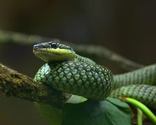 Free Snake On A Limb Stock Images - 30737474