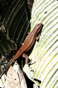 Free Lizard Royalty Free Stock Photos - 30738958