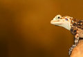 Free Agama Stock Photography - 30740522