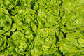 Free Green Lettuce Stock Image - 30743171