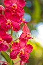 Free Red Orchids Stock Photos - 30743953
