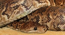 Large Python Snake Royalty Free Stock Image