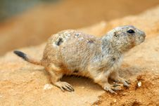 Free Prairie Dog Royalty Free Stock Photography - 30741027