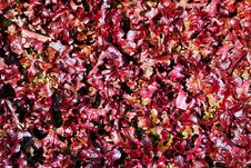 Free Red Lettuce Royalty Free Stock Images - 30743169